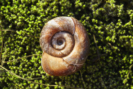 Brązowa muszla ślimaka na zielonym mchu. | Brown snail shell on green moss.